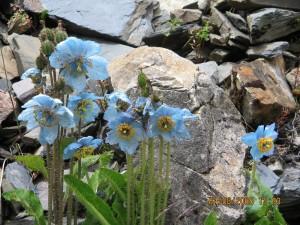 blue poppy 6