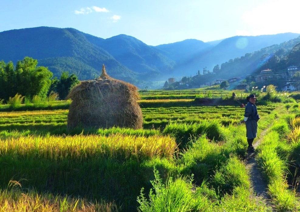 Grüne Reisfelder in Bhutan mit Hügeln im Hintergrund