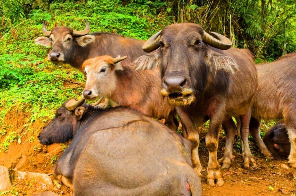 Büffelfamilie am Abkühlen unter Bäume während der Trekking Tour in Nepal