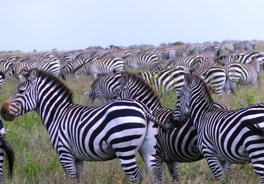 Ndutu-Serengeti – Die Große Herdenwanderung | Ngorongoro & Taragire