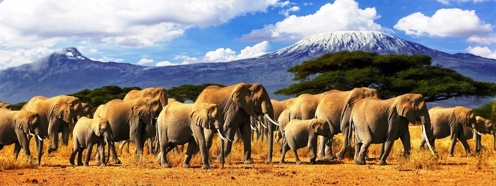Safari mit Elefanten und Kilimandscharo im Hintergrung